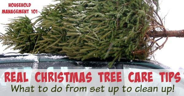Here are tips and tricks for real Christmas tree care, to help your tree last, and how to clean up dropped needles and sap {on Household Management 101} #ChristmasTree #ChristmasTreeCare #HouseholdManagement101