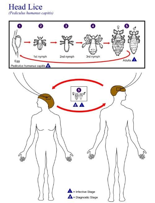 head lice lifecycle
